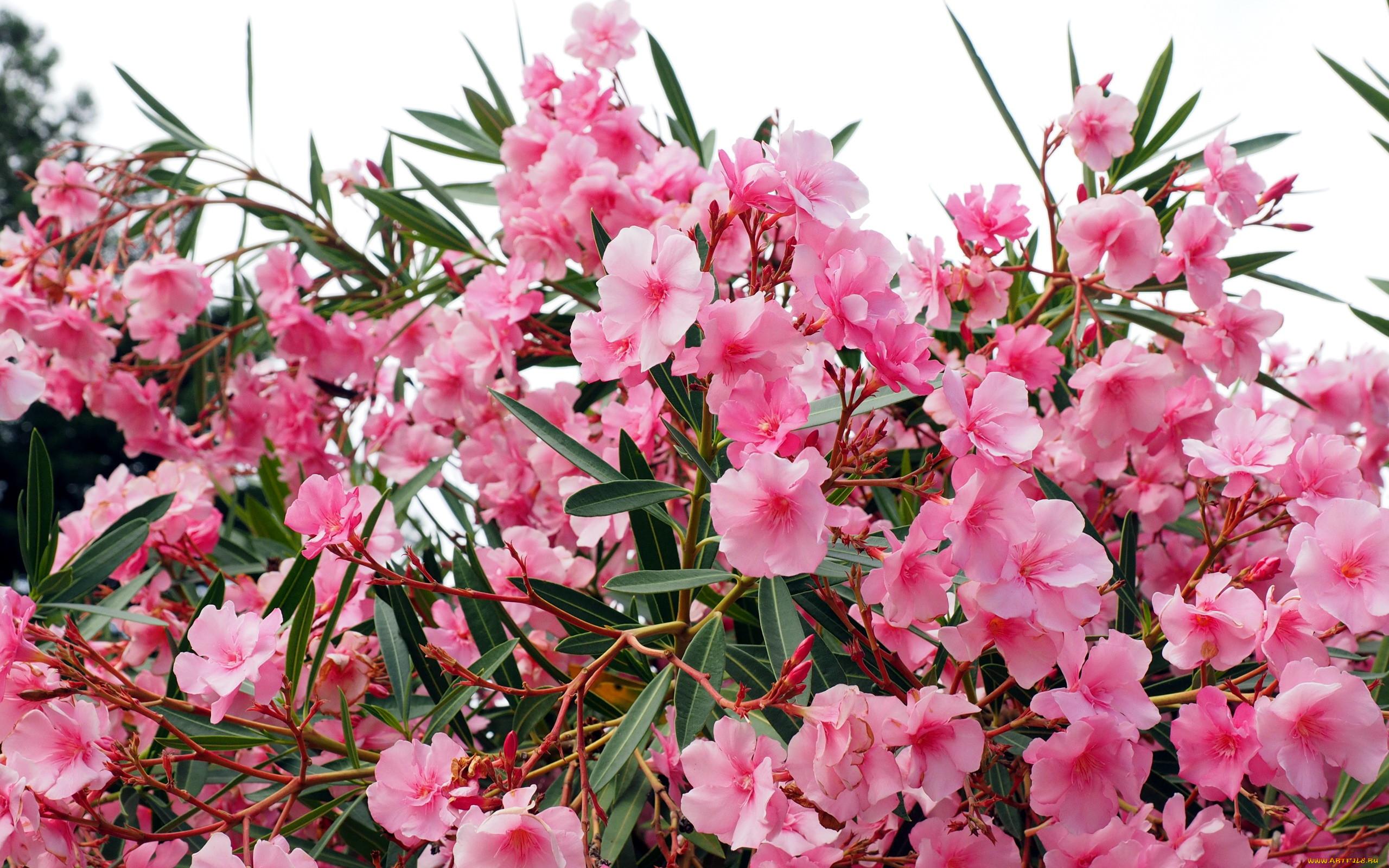 куст розовые цветы фото знаю это иносказательно